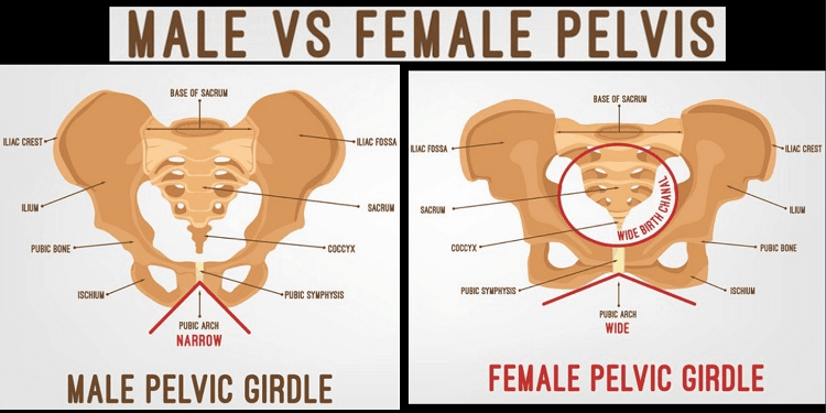 Male vs. Female Pelvis