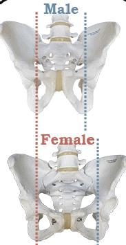 Male Female pelvic bone