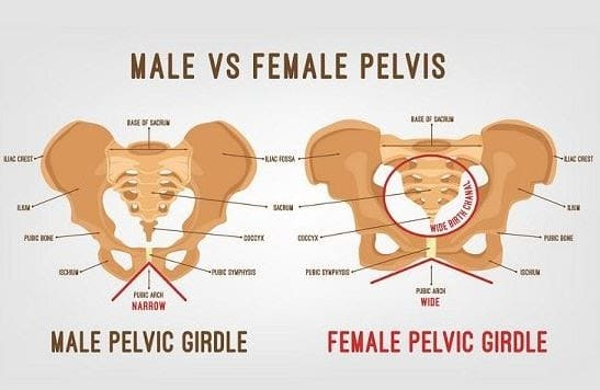 Pelvic Girdle Anatomy